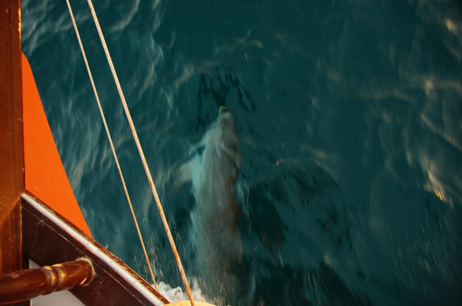 Дельфины сопровождают яхту на морской прогулке в Анапе